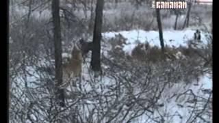 Охота с лайкой в Якутии