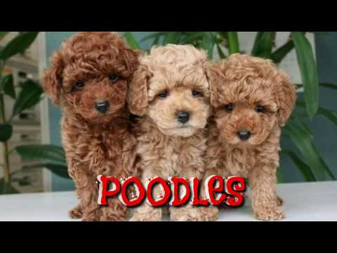 TOP Quality Red Poodle Puppies for Sale. Red Coat Purebreed Quality  Poodle Puppy (Boskys Kennel)