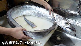 【バケモン】指12本サイズのウルトラ太刀魚のお腹からとんでもない物が出てきました。こんな物食べるの!?