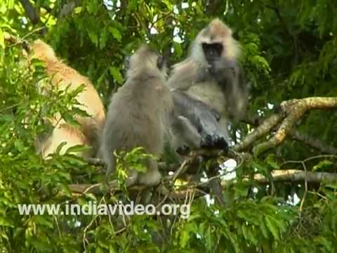 The long-tailed Common Langur
