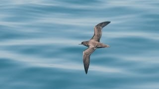 ハシボソミズナギドリ飛翔  Short-tailed Shearwater