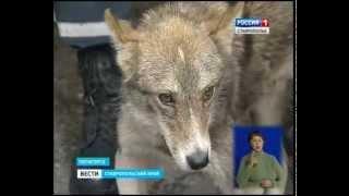 Волчонок Акела пришел к людям