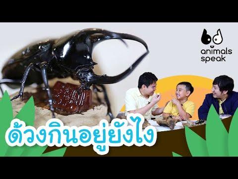 ด้วงกินอยู่ยังไง | Animals Speak [by Mahidol Kids] | ข้อมูลที่มีรายละเอียดมากที่สุดทั้งหมดเกี่ยวกับด้วง กว่า ง กิน อะไร เป็น อาหาร