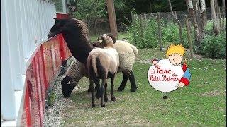un mouton voulait monter dans le petit train - Parc du Petit Prince - parc d'attraction