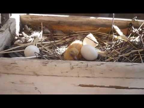Новорожденный голубь.
