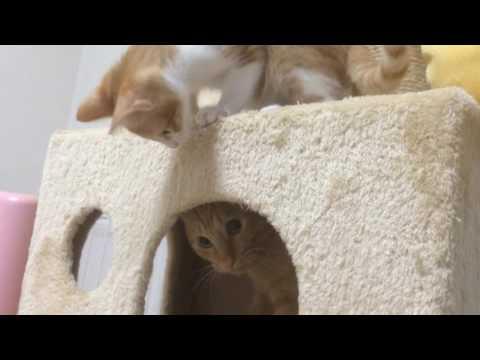 キャットタワーで遊ぶ猫るるらら Playing with a cat tower
