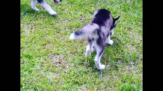 Having a day with my Great Pyrenee,Husky