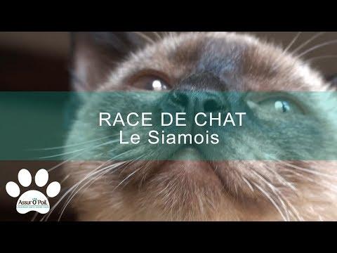 [RACE DE CHAT] Le Siamois | Assur O'Poil