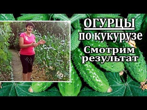 Посадка огурцов в грунт.Метод посадка огурцов с кукурузой. Часть 2