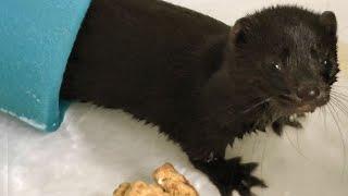Ex-Fur Farm Mink Takes on the Bathtub - 50 Dead Mink = 1 Coat?