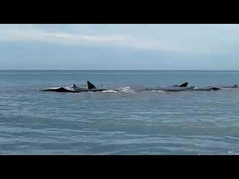 Ikan paus terdampar di lhoknga Banda Aceh