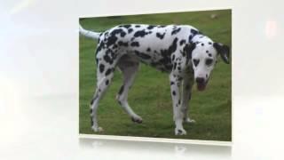 Dalmatian Temperament
