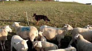 Herdinginstincttestforatending Dog.wmv
