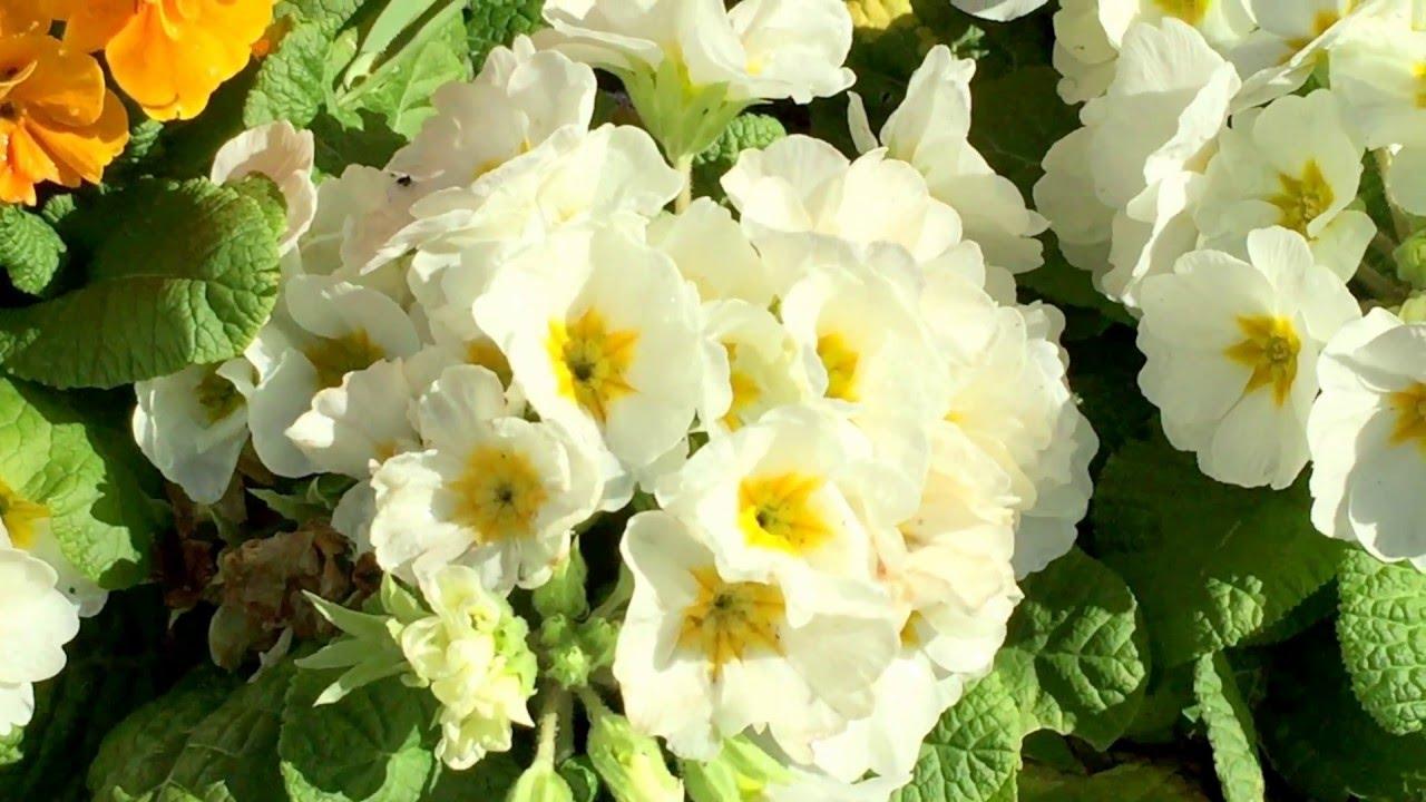 British Spring Blossoms White Orange Primrose Flowers In Garden