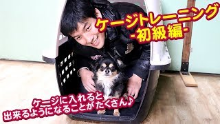 本日は小型犬のチワワでハウスケージトレーニングを実践! ケージに入れ...