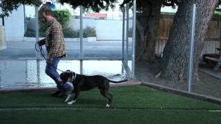 How to Work Out Your Pit Bull : Raising Your Dog