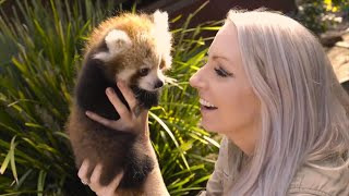 Adorable Twin Baby Red Pandas Cuddle With Zookeepers
