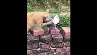 Голубь беспридельщик  Смешные короткие видео про животных и хозяев 720p