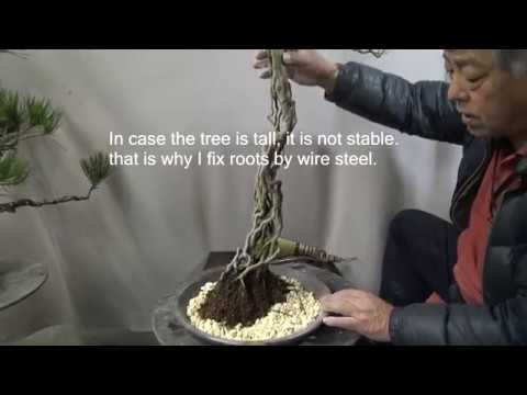 Bonsai master repots the tall Azalea bonsai tree.盆栽