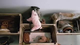 Переговоры с филином, взявшим в заложники свинью.