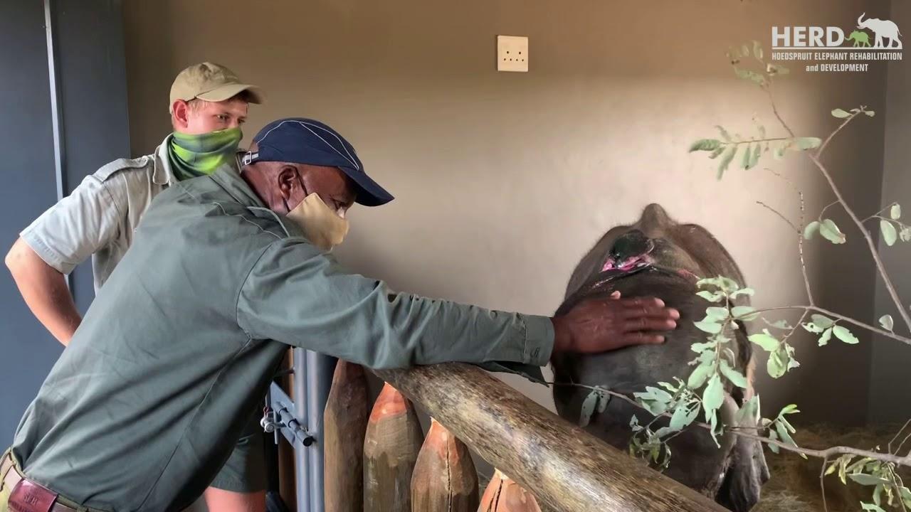 Elephant Carer, Stavros returns to meet Fenya & see his buddy, Khanyisa 🐘❤️🐘