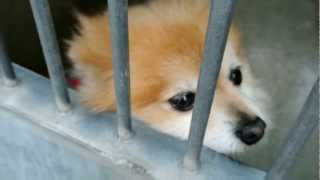Pomeranian In Lost And Found At Oc Shelter