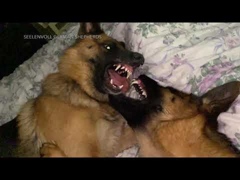 In bed with two Wolf-like German Shepherds play fighting