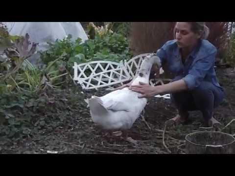 Домашний гусь Тега. Птице 12 лет