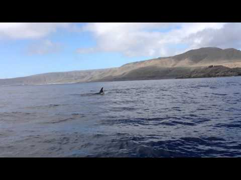 Killer whales / Orcas at San Clemente Island - Vantuna Research Group, Occidental College