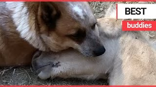 Rescue dog is best buddies with an orphaned baby horse   SWNS TV