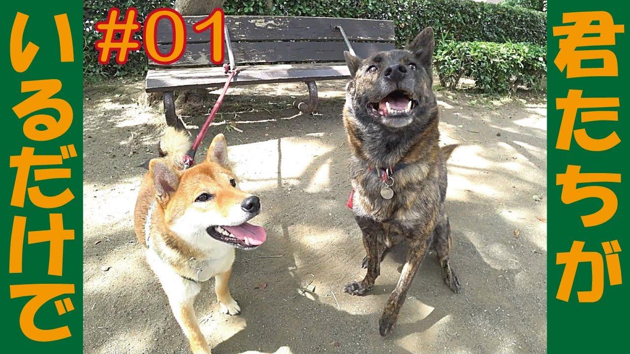 甲斐犬ハルヱと柴犬マメがいる何気ない日常ぉ=!【#01】