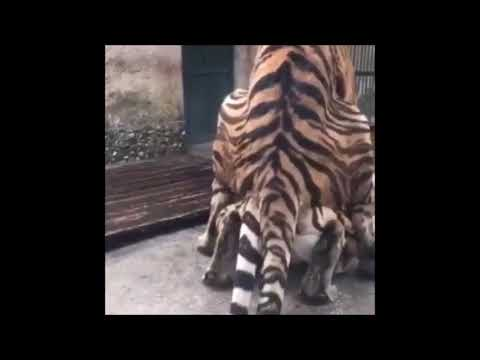 Tiger penis and mating