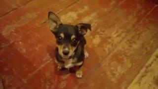 Пинчер Фил - очень милый и веселый щенок, играет с мячиками