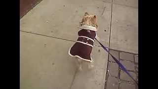 Yorkshire Terrier Walking On 2 Feet