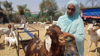 Falak Goat Farm Introduction Video.