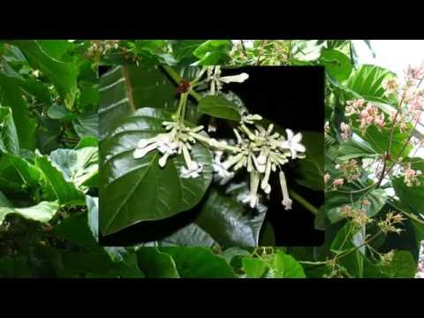 China (Cinchona) Officinalis - The Homeopathic Remedy
