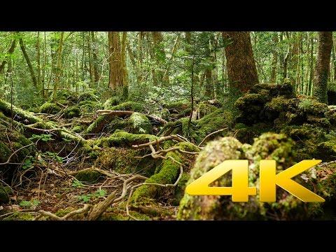Yamanashi Aokigahara Jukai - 青木ヶ原 - 4K Ultra HD