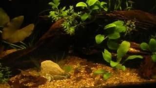 Кормление лягушат Гименохирус Беттгера African Dwarf Frogs