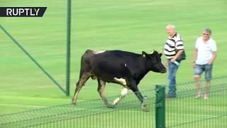В Болгарии корова прервала футбольный матч