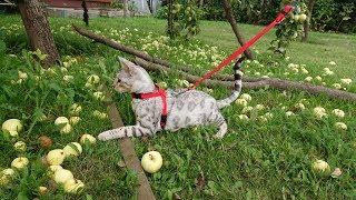 Бенгальский кот в первый раз гуляет на поводке. 猫