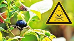 Tödlich giftige Pflanze in Europa, die verrückt machen kann | Die Tollkirsche