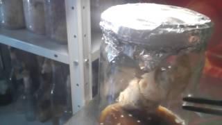 шампиньоны гигантские, получение мицелия из гриба
