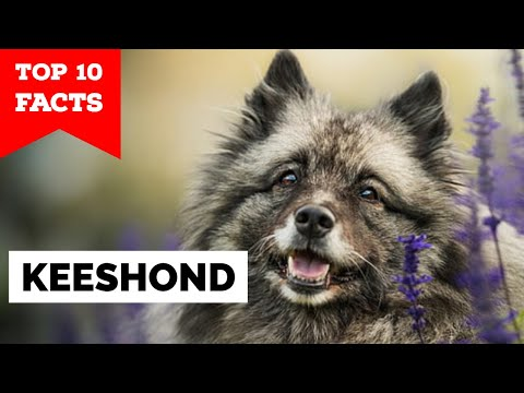 Keeshond - Top 10 Facts
