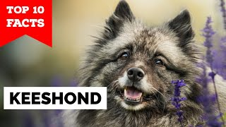Keeshond  Top 10 Facts