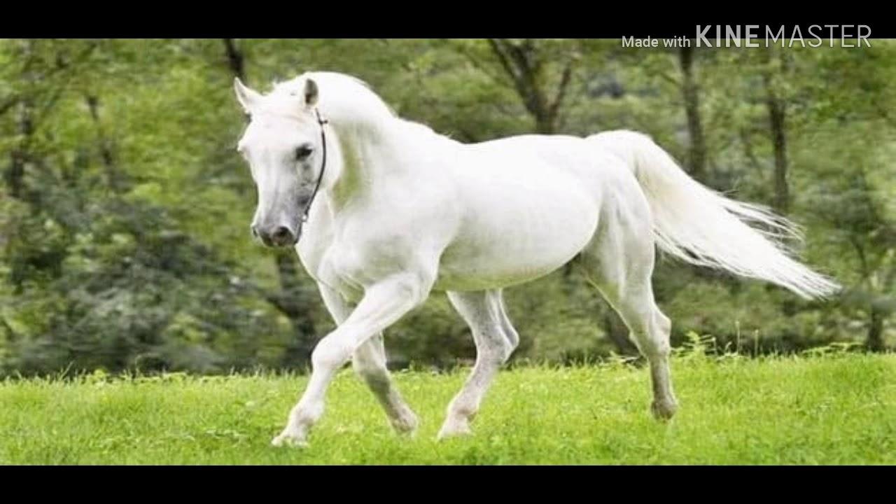 تفسير الاحلام رؤية الحصان الابيض في المنام للمتزوجة للعزباء للرجل للحامل تفسير ركوب الخيل في المنام Youtube