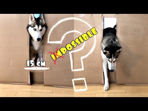 Husky Fits Through Hole Challenge! Will They Fit? | SUBTITLED