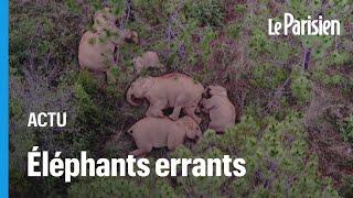 Chine : des drones pour ramener des éléphants errants dans leur réserve