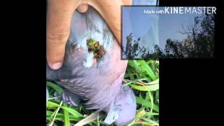 caza de paloma con aire comprimido 5.5