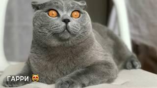 БРИТАНСКИЙ КОТ И КРОЛИК / British Cat