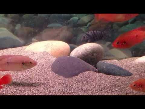Jewel Cichlid Breeding Aquarium